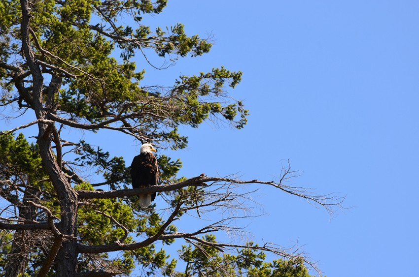 Eagle seen during our Desolation Sound Boat Tour
