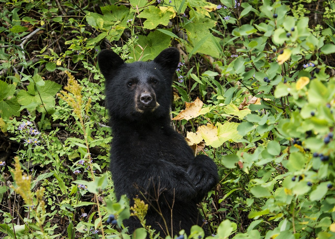 black bear cub in british columbia