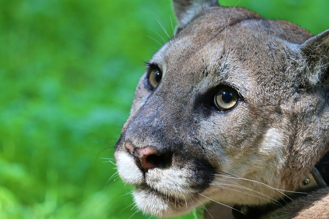 cougar in british columbia