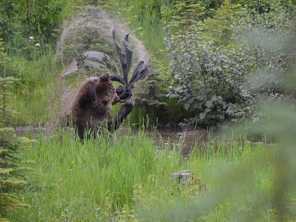 Grizzly Bear at Kicking Horse Mountain