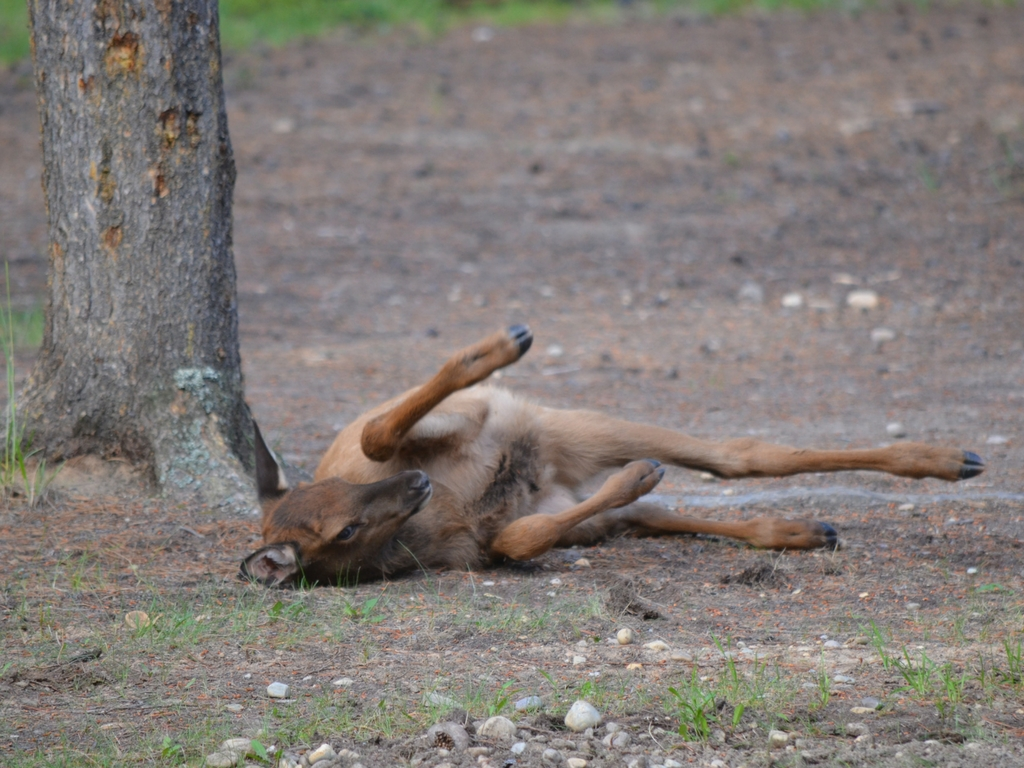 baby elk rolling outside