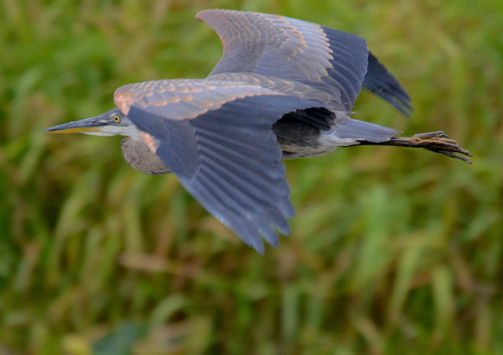 great blue heron mid flight