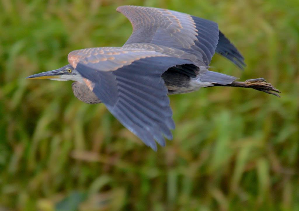 great blue heron mid flight