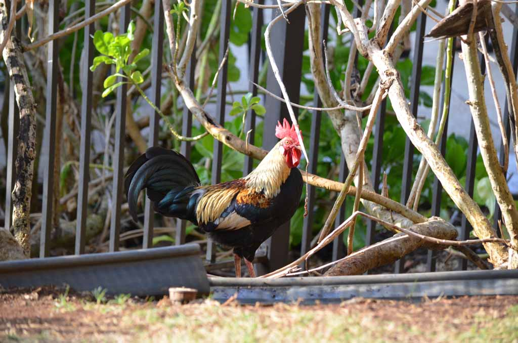 Rooster in the garden