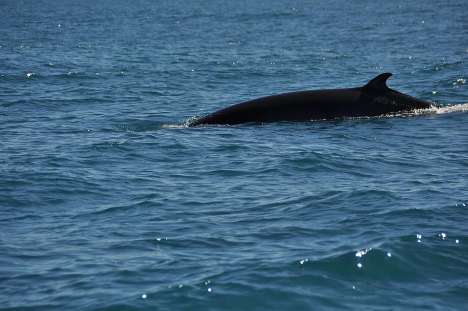 minke-whale-swimming