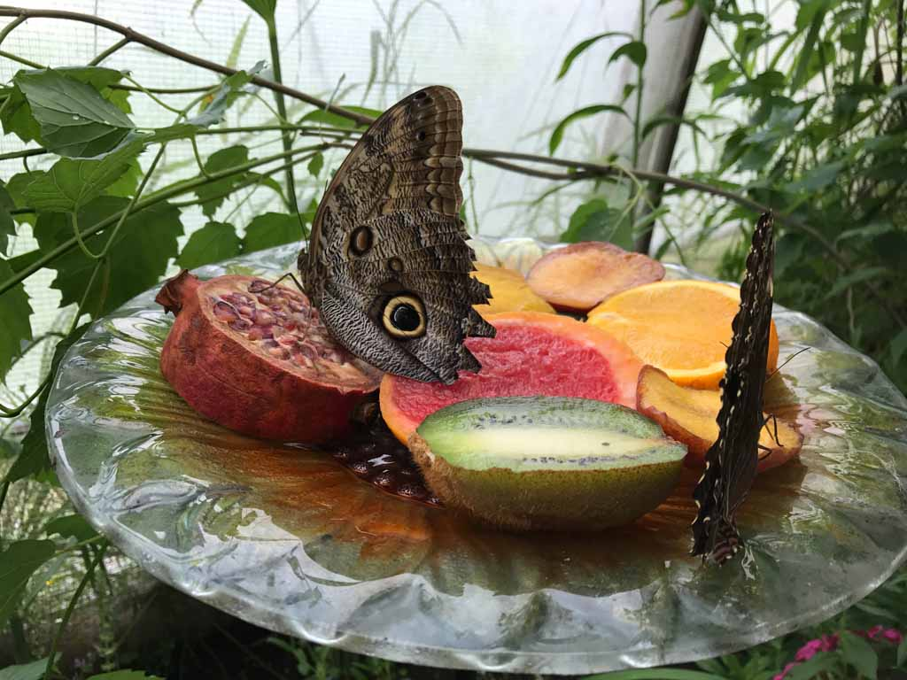 butterfly-eating-fruit