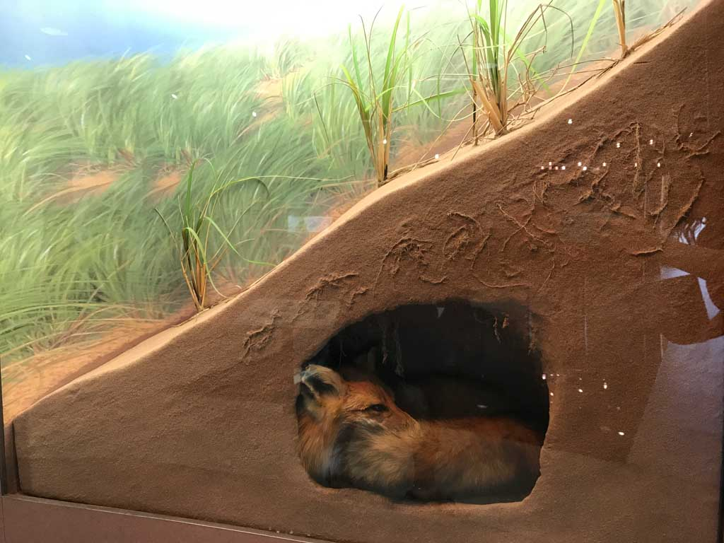 Fox exhibit at the PEI interpretation centre in the PEI National Park