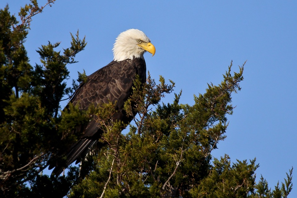 Bald Eagle in tree seen from our Gros Morne boat tours adventure