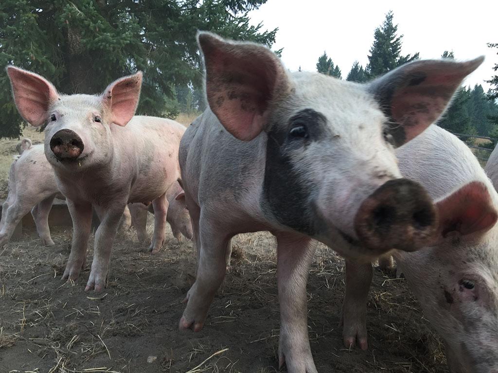 Keenan Family Farms Pigs