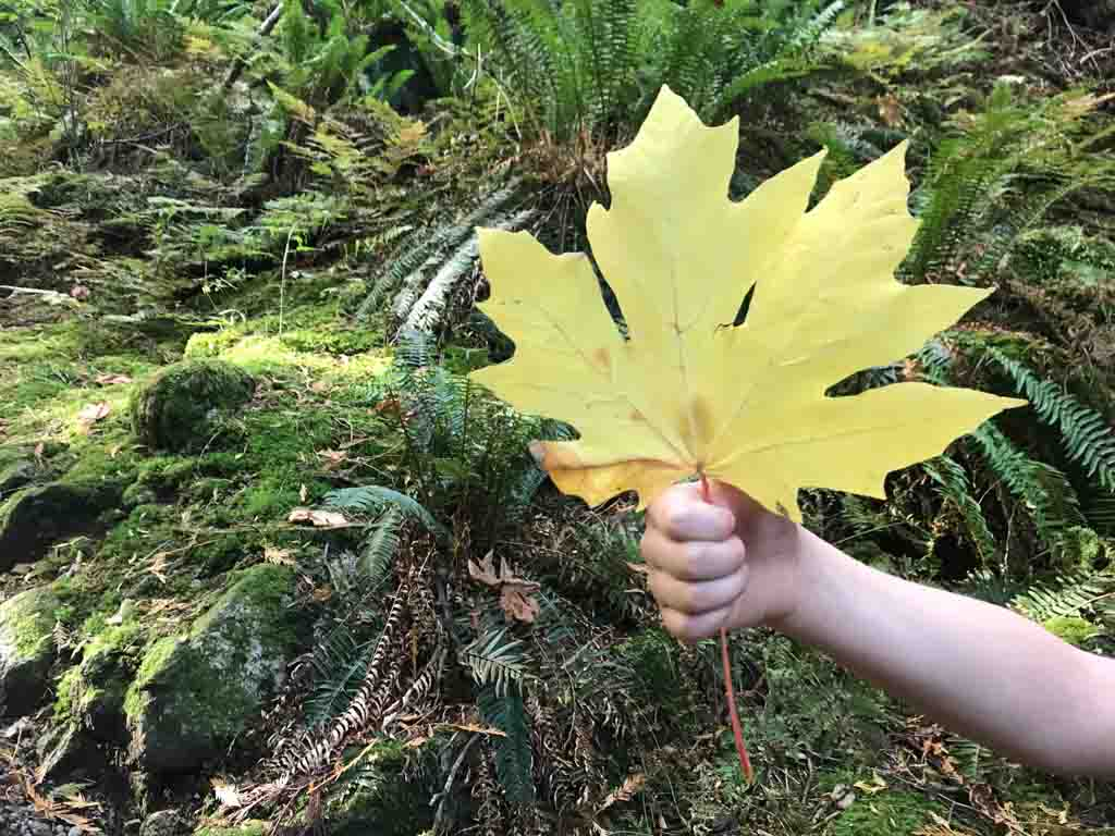Child holding a large maple leaf