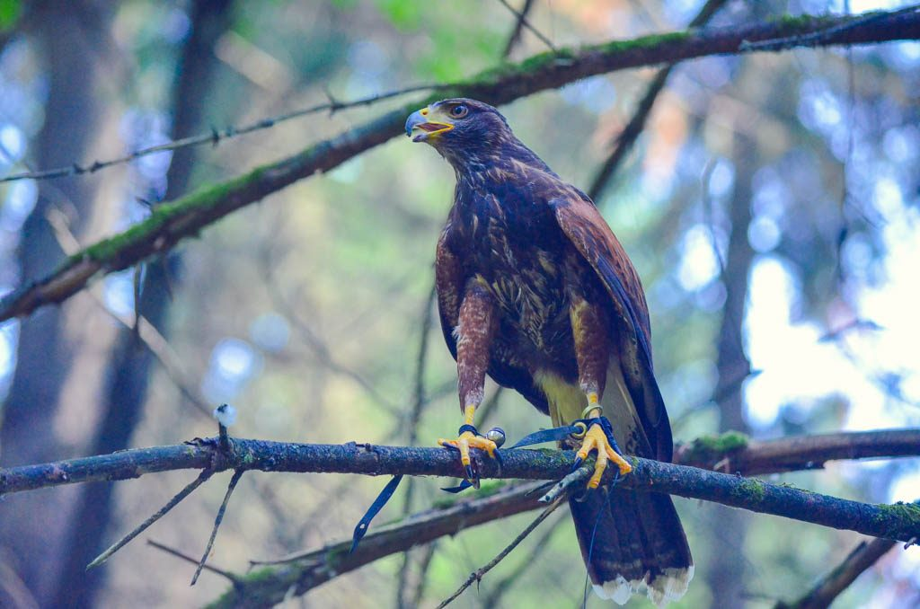 Bird of prey in tree at the Pacific Northwest Raptor