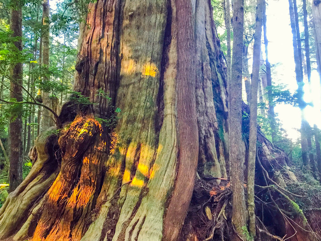 Tree in Tofino Forest