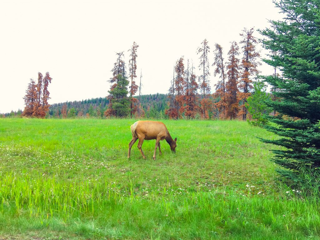 elk-in-whistlers-campground