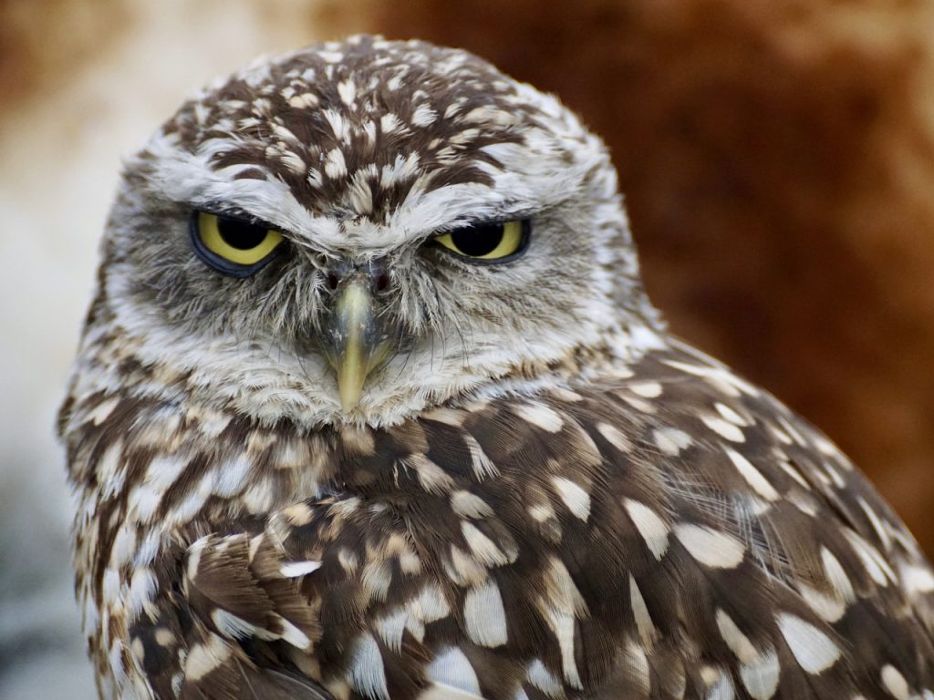 burrowing-owl