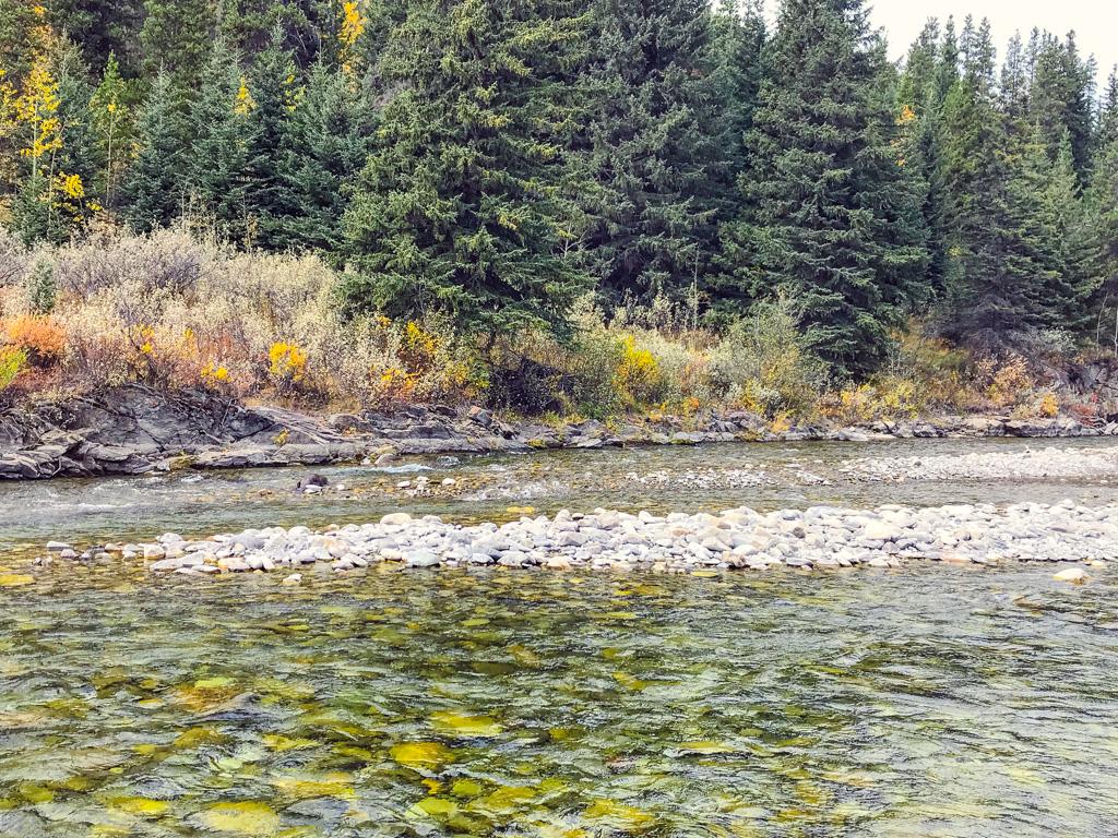 beaver-in-alberta-river