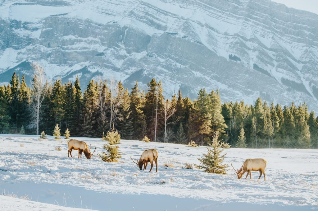 Male Elk in Banff National Park during Banff photography tours