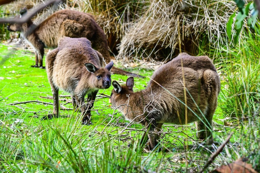 two kangaroo on kangaroo island