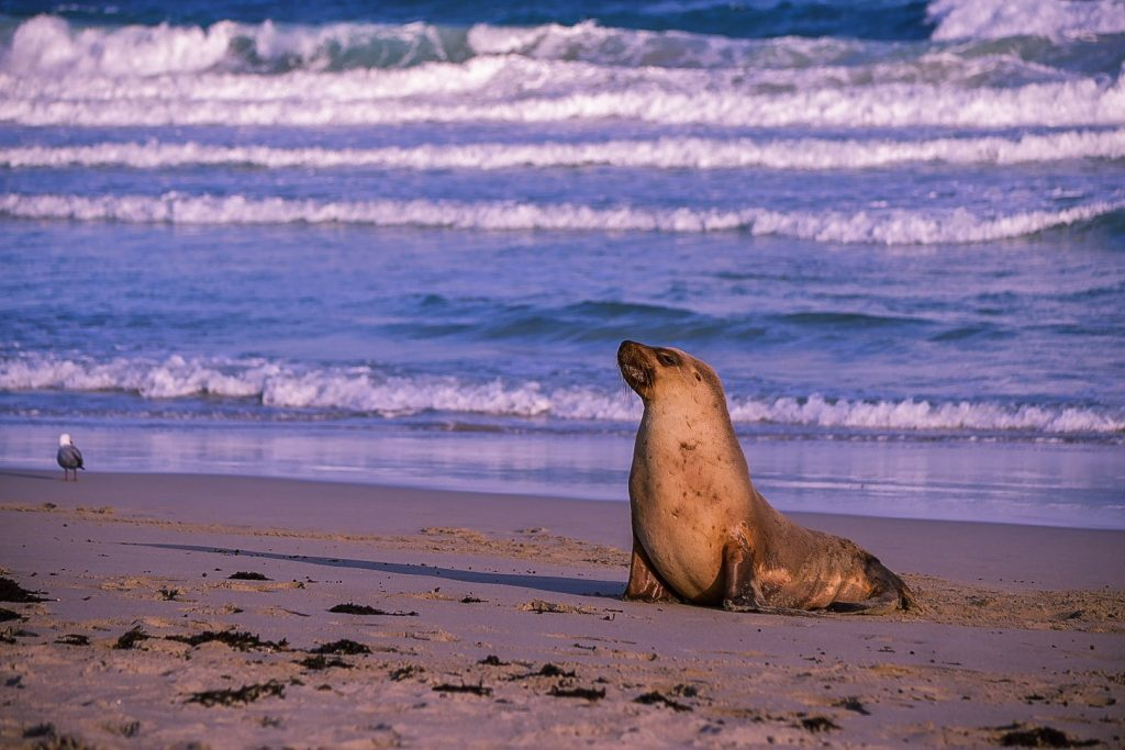 seal beach one of the things to do on kangaroo island south australia
