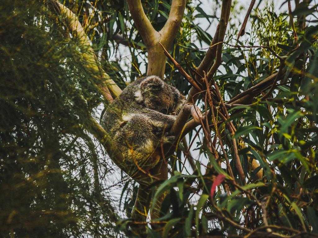 koala-bear-sleeping-in-tree