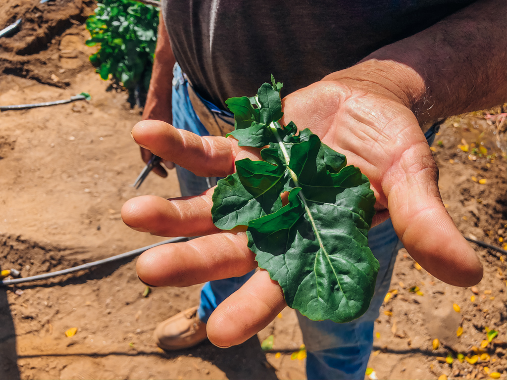 Man holding a leaf of a arugula