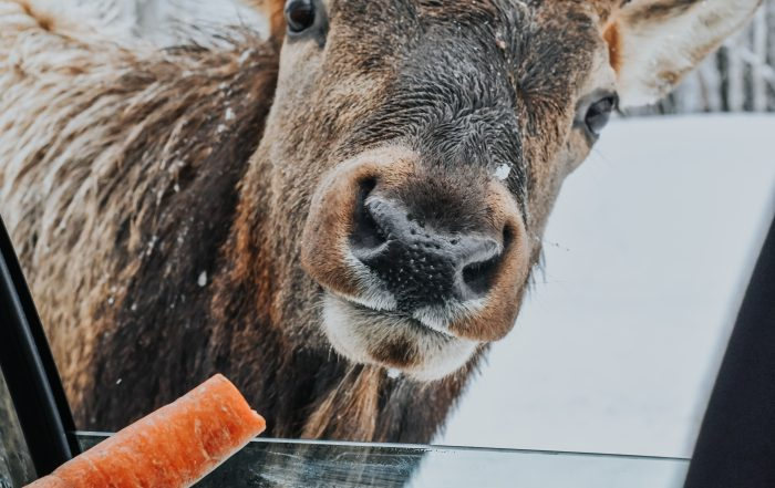 Deer eating carrot out of car window at Park Omega Winter