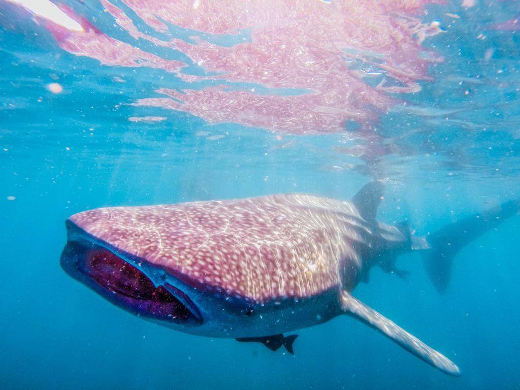 whale shark swimming in ocean