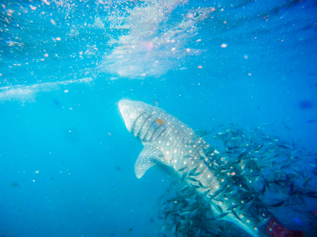 whale shark swimming and surrounded by small fish in la paz bay in los cabos