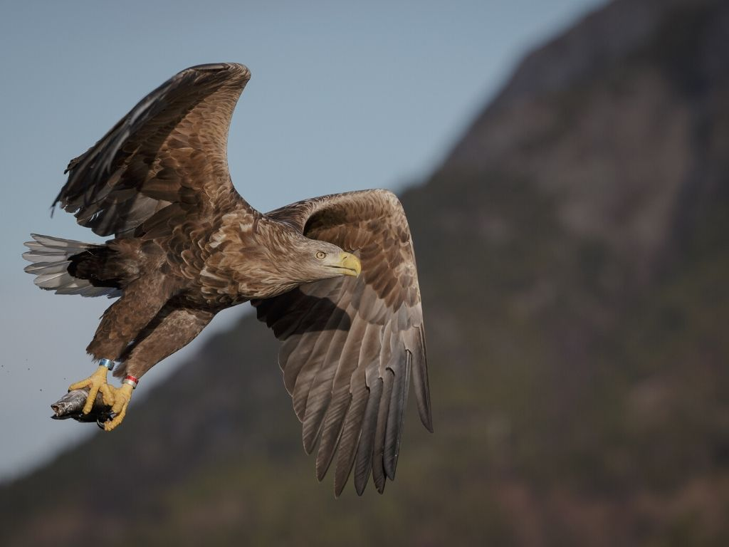Eagle with fish in its claws