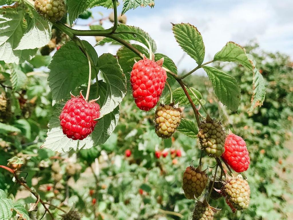U pick berries at a Langley farm tour