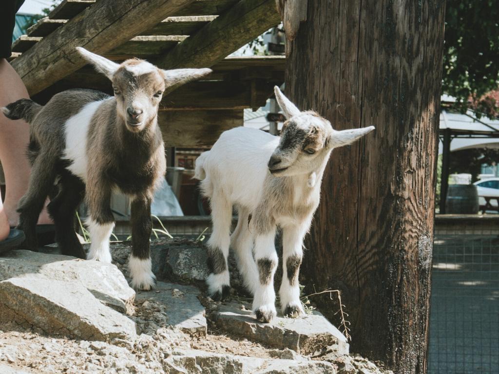 Goats at Taves Family farm as a Langley farm tour