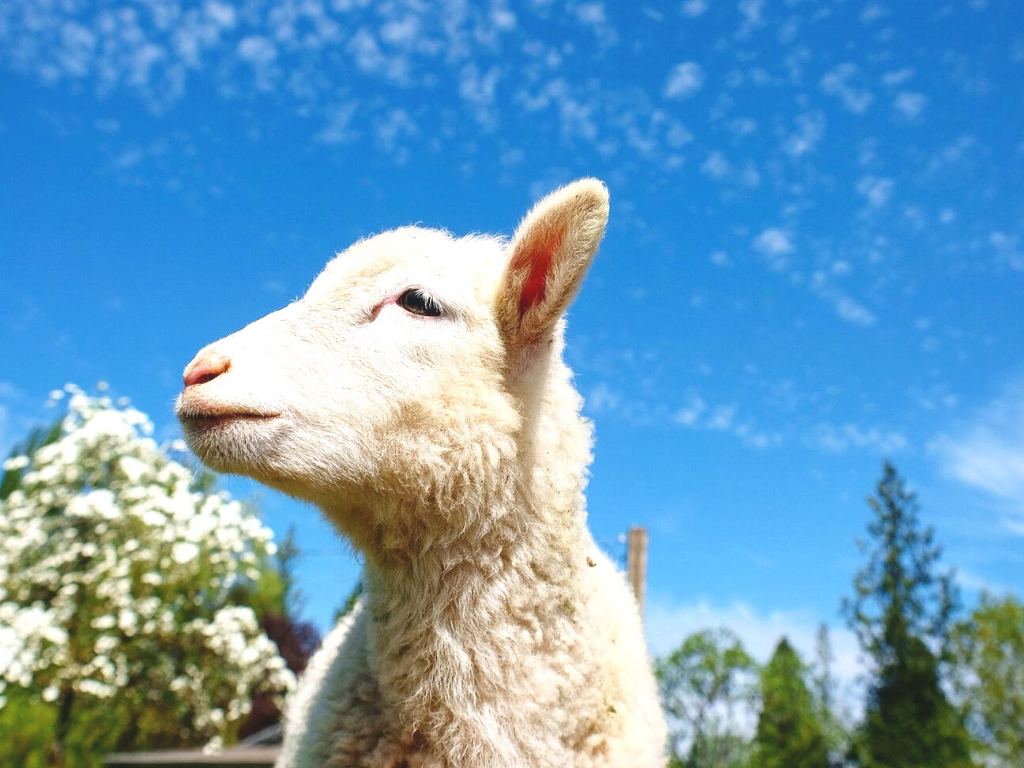 Lamb at Aldor Acres Langley farm tour