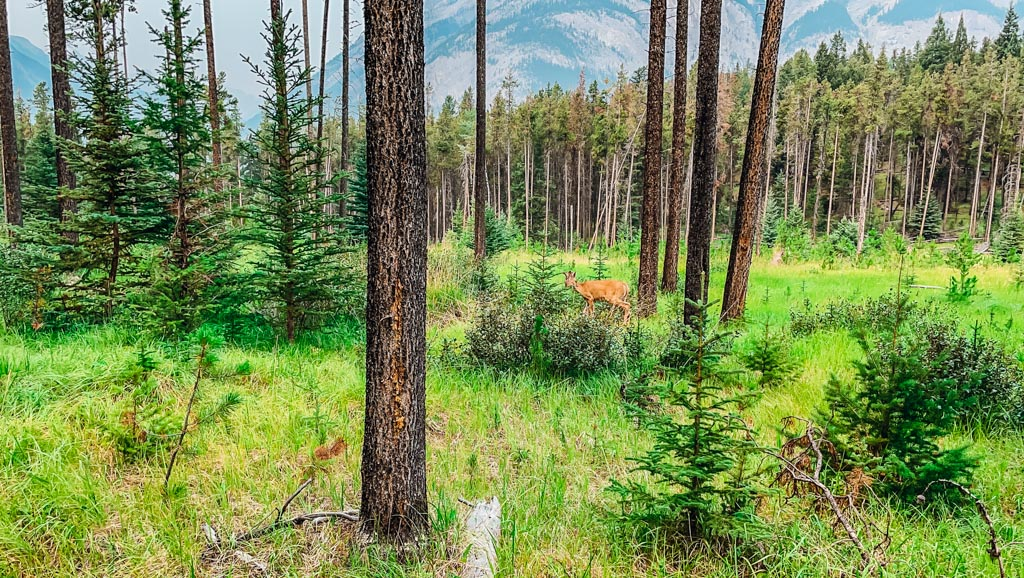deer in the forest in banff alberta